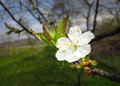Twig of plum bloom blossom in spring Stock Photography