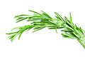 Twig of rosemary on a white background Royalty Free Stock Photos