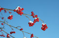 Twig with rowan berries at wintertime Royalty Free Stock Photo
