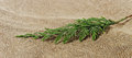 Twig of thuja. Royalty Free Stock Image