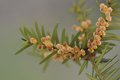 Twig of yew with male flowers taxus baccata on gray background macro Stock Photography