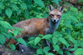 Twiggy in the green red fox on a leafy incline Royalty Free Stock Images