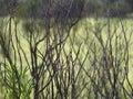 Twiggy leafless desert bush on the Uluru base walk trail, Northern Territory Royalty Free Stock Photo