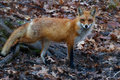 Twiggy posed the red fox on a leafy incline Stock Photos