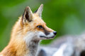 Twiggy profile of the red fox in front of a wood pile Stock Photos
