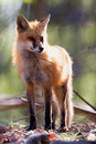 Twiggy squint the red fox squinting in the morning sun Royalty Free Stock Photo