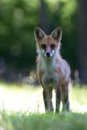 Twiggy stare the red fox staring from a meadow Stock Image