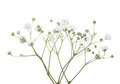 Twigs with flowers of Gypsophila isolated on white background Royalty Free Stock Photo
