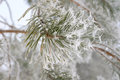 Twigs of pine hoar frost covered shallow dof Stock Image