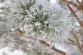 Twigs of pine hoar frost covered shallow dof Royalty Free Stock Photography
