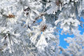 Twigs of pine snow covered shallow dof Royalty Free Stock Photo