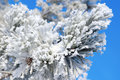 Twigs of pine snow covered shallow dof Royalty Free Stock Images