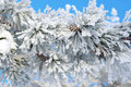 Twigs of pine snow covered shallow dof Stock Photography
