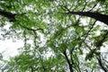 Twigs and skies-Cinnamomum camphora Royalty Free Stock Photo