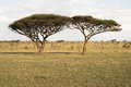 Twin Acacia Trees Royalty Free Stock Photo