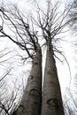Twin beech trees Royalty Free Stock Photo