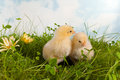 Twin easter chicks fluffy in a flower garden Stock Images