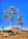 Twin ghost gum trees Royalty Free Stock Photo