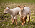 Twin lambs in spring Stock Photography