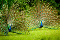 Twin peacocks two male showing their true colors Royalty Free Stock Image