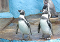 Twin penguin Swimming party Royalty Free Stock Photo