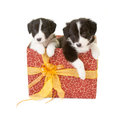 Twin puppies as a gift Royalty Free Stock Photos