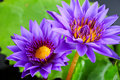 Twin purple water lily flowers Stock Photos