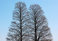Twin trees Royalty Free Stock Photo