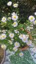 Twinkle daisy Royalty Free Stock Photo