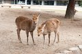 Twins deer in nara park japan sika cervus nippon the there are over wild sika posing for tourists Stock Photos