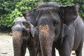 Twins elephant close up two open ears blur nature background Stock Image