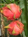 Twins Fruit Dragon Royalty Free Stock Photo