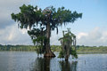 Twisted cypress trees gnarled bald by storms grow out of the water in a louisiana lake Royalty Free Stock Image