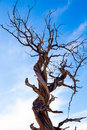 Twisted juniper tree in winter large central oregon during the just before a big storm Royalty Free Stock Photos