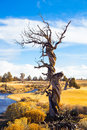 Twisted juniper tree in winter large central oregon during the just before a big storm Stock Photo