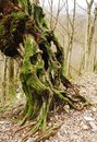 Twisted Mossy Tree Royalty Free Stock Photography