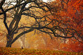 A twisted oak in autumn Stock Photography
