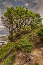 Twisted old pine tree on coastline of corsica a clinging to the rocks the the desert des agriates in northern Stock Photo