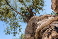 Twisted olive tree trunk Royalty Free Stock Photo