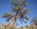 Twisted pine tree in rocky mountains at gateway natural area near fort collins colorado Stock Photography