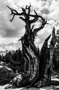 Twisted pine tree trunk black and white shot of a in yosemite national park california Royalty Free Stock Photos