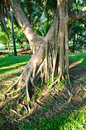 Twisted roots of old tree on park thailand Stock Photography