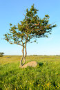 Twisted tree one single and tormented growing beside stone boulder on grass plain blue sky above and green grass below Stock Image