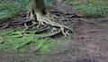 Twisted tree roots Royalty Free Stock Photography