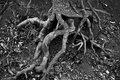 Twisted Tree Roots exposed on Creek Bank Royalty Free Stock Photo