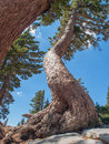 Twisted tree trunks of the red fir trees are and growing from the rock cliff at lassen volcanic national park california Stock Photo