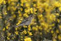 Twite carduelis flavirostris single bird on perch hebrides scotland Stock Image