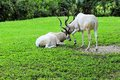 Two addax antelopes an antelope lying on the grass while another walks by in zoo miami south florida Stock Photo
