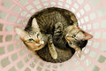 Two adorable Cats lying in basket. Lovely Couple family friends sisters time at Home. kittens cuddle snuggle together. Royalty Free Stock Photo