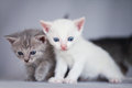 Two adorable kittens white and gray Royalty Free Stock Photos